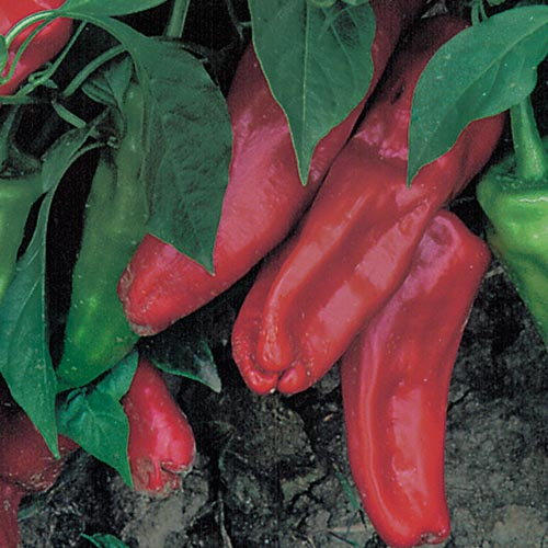 Pepper, Marconi Red