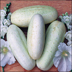 Cucumber, White Wonder