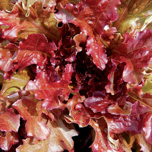 Lettuce, Red Salad Bowl