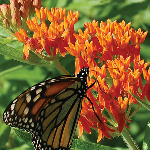 butterflyweed prairie  seed savers exchange, Beautiful flower