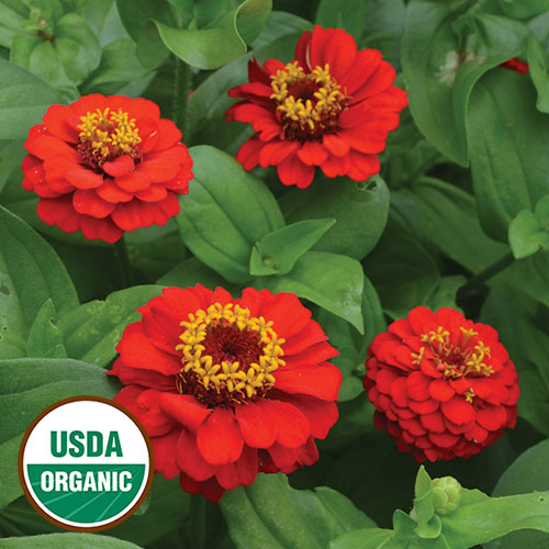 Flower, Red Cap Zinnia