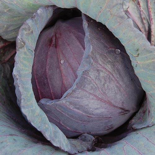 Cabbage, Mammoth Red