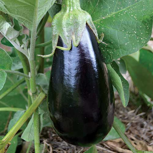 Eggplant, Florida High Bush