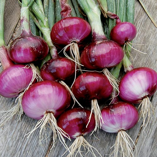 Red Wethersfield Onion - Seed Savers Exchange