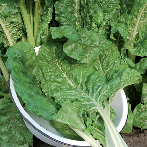 Swiss Chard, Fordhook Giant