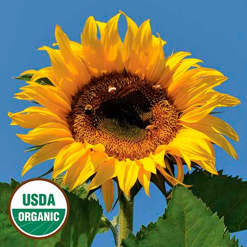 Tarahumara White Seeded Sunflower