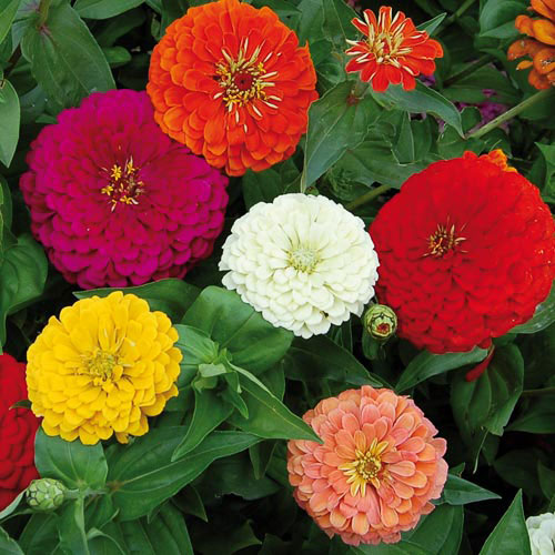 benarysgiantzinniaflower, Natural flower