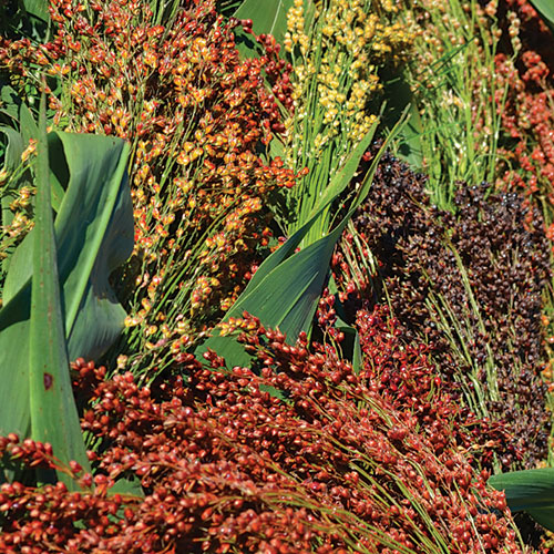 Sorghum, Mixed Colors Broomcorn
