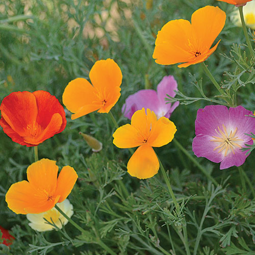 Flower, California Poppy Mix
