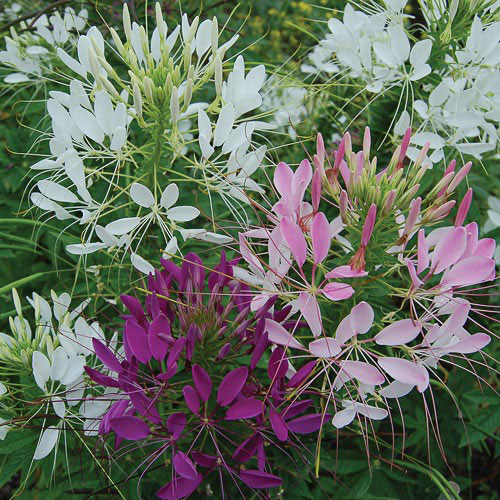 Flower, Spider Flower Mix