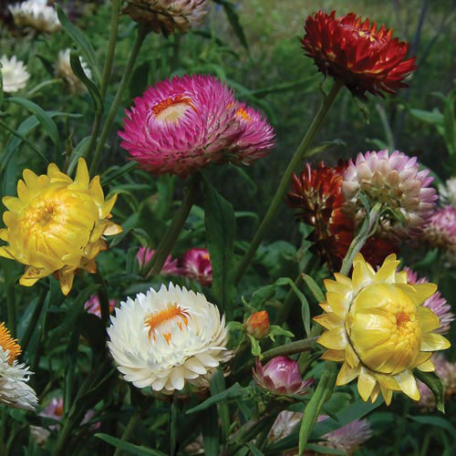 Flower, Strawflower Mixture