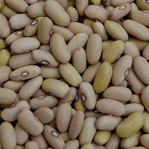 Arikara Yellow Bean - Seed Savers Exchange