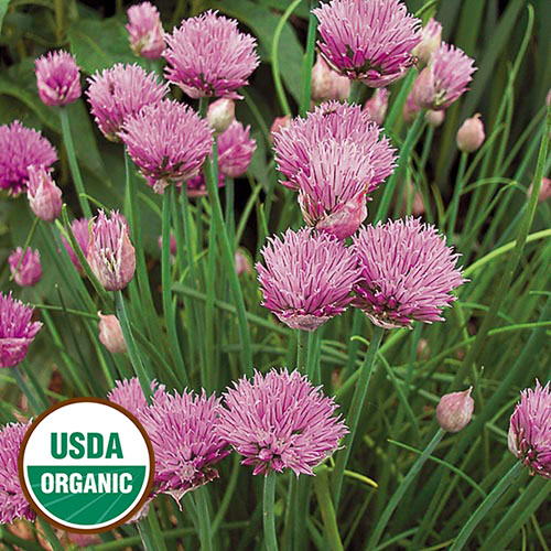 Herb collection seed savers exchange chives mightylinksfo