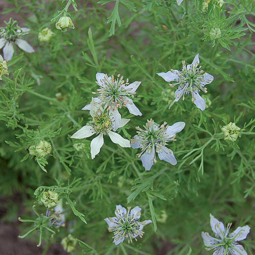 Herb, Black Cumin