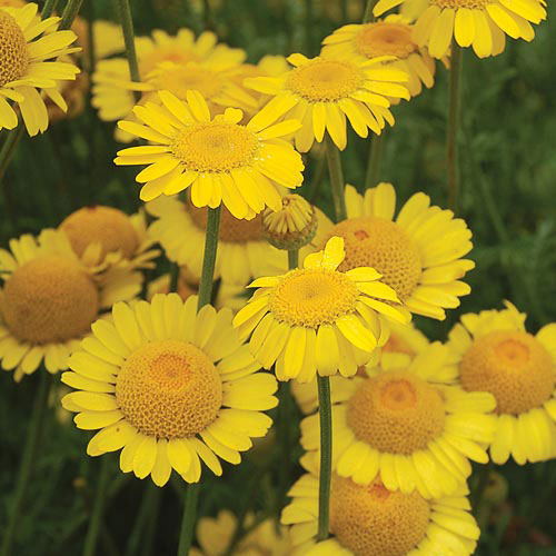 "Herb, Golden Marguerite ""Kelway's"""