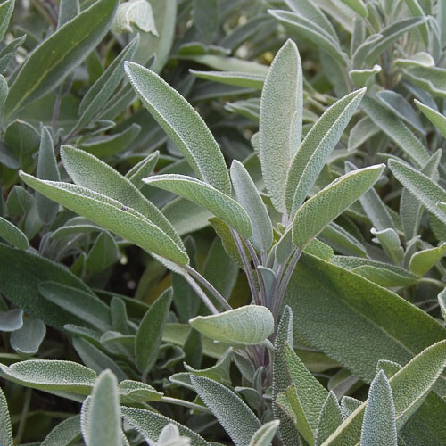 Herb, Sage Green Culinary