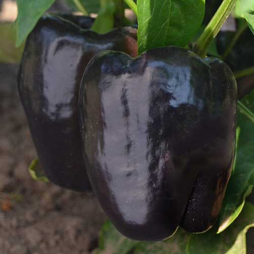 Pepper, Purple Beauty