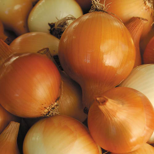 Onion, Yellow of Parma