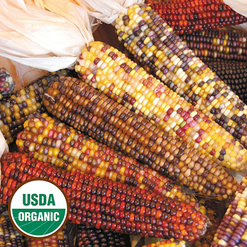 Corn Seeds Heirloom And Organic Seed Savers Exchange