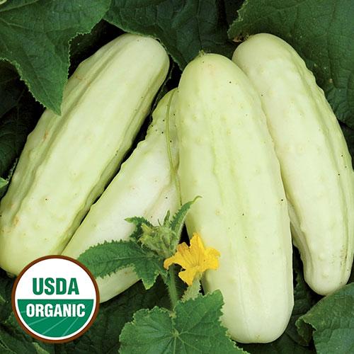 Holland White Organic Cucumber Seed Savers Exchange
