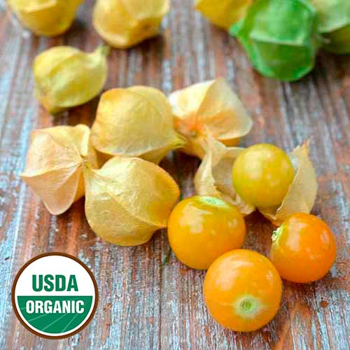 Ground Cherry, Loewen Family Heirlo