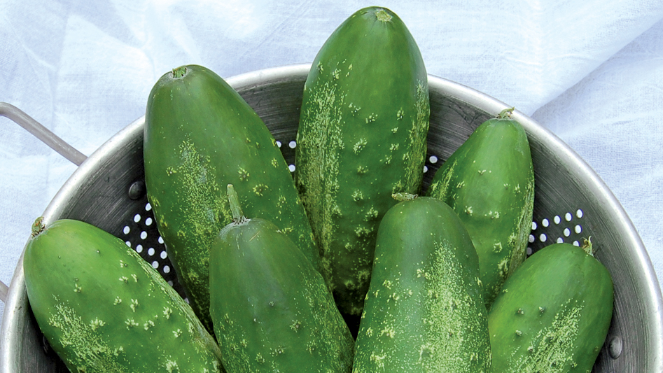 Russian Pickling cucumber