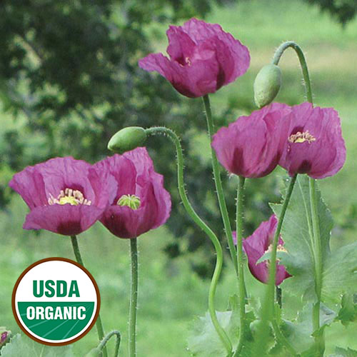 Hungarian blue breadseed poppy flower organic seed savers exchange flower hungarian blue breadseed po mightylinksfo