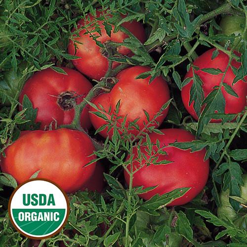 Tomato, Silvery Fir Tree