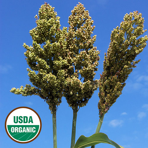 Sand Mountain sorghum