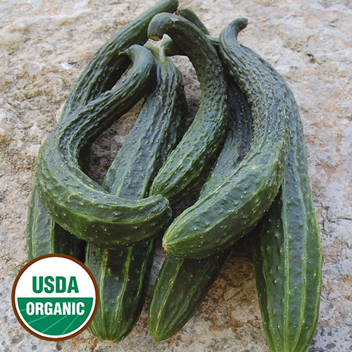 Cucumber, Suyo Long