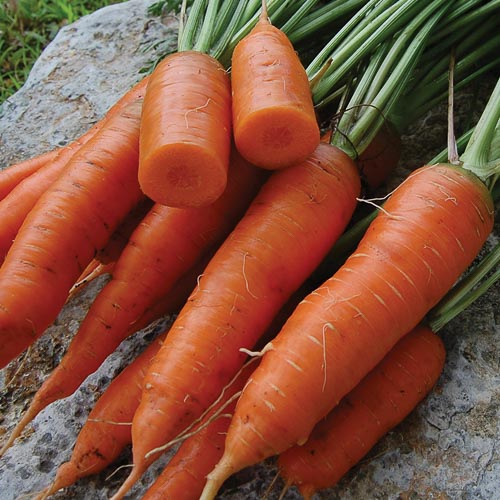 Carrot, Red Cored Chantenay
