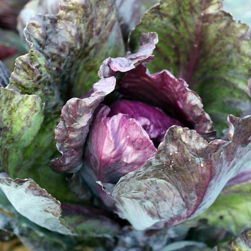 Cabbage, Red Kalibos