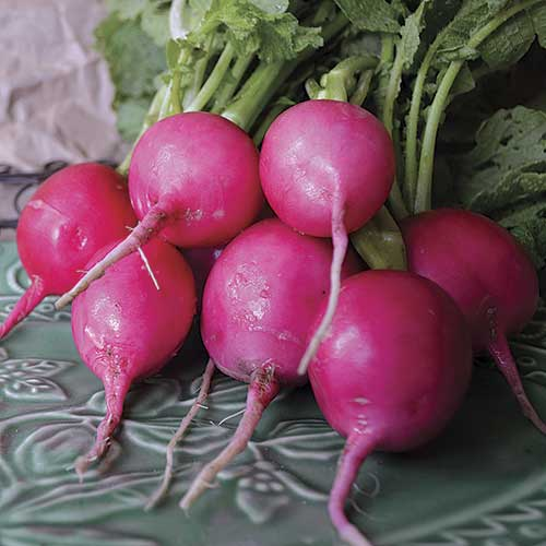 Radish, Pink Lady Slipper