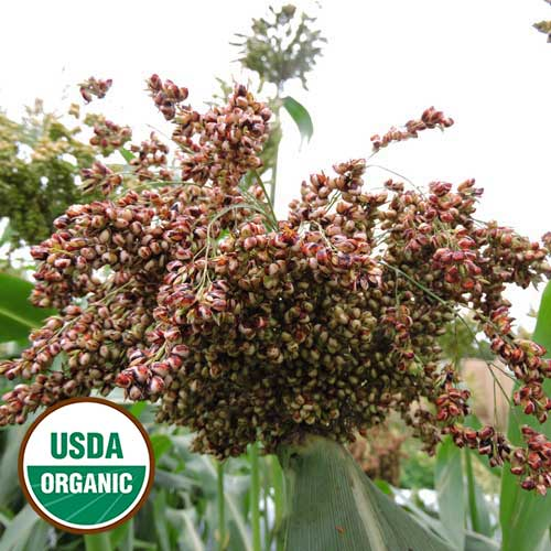 Williams Sorghum