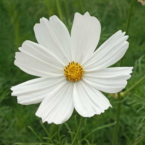 Flower, Purity Cosmos