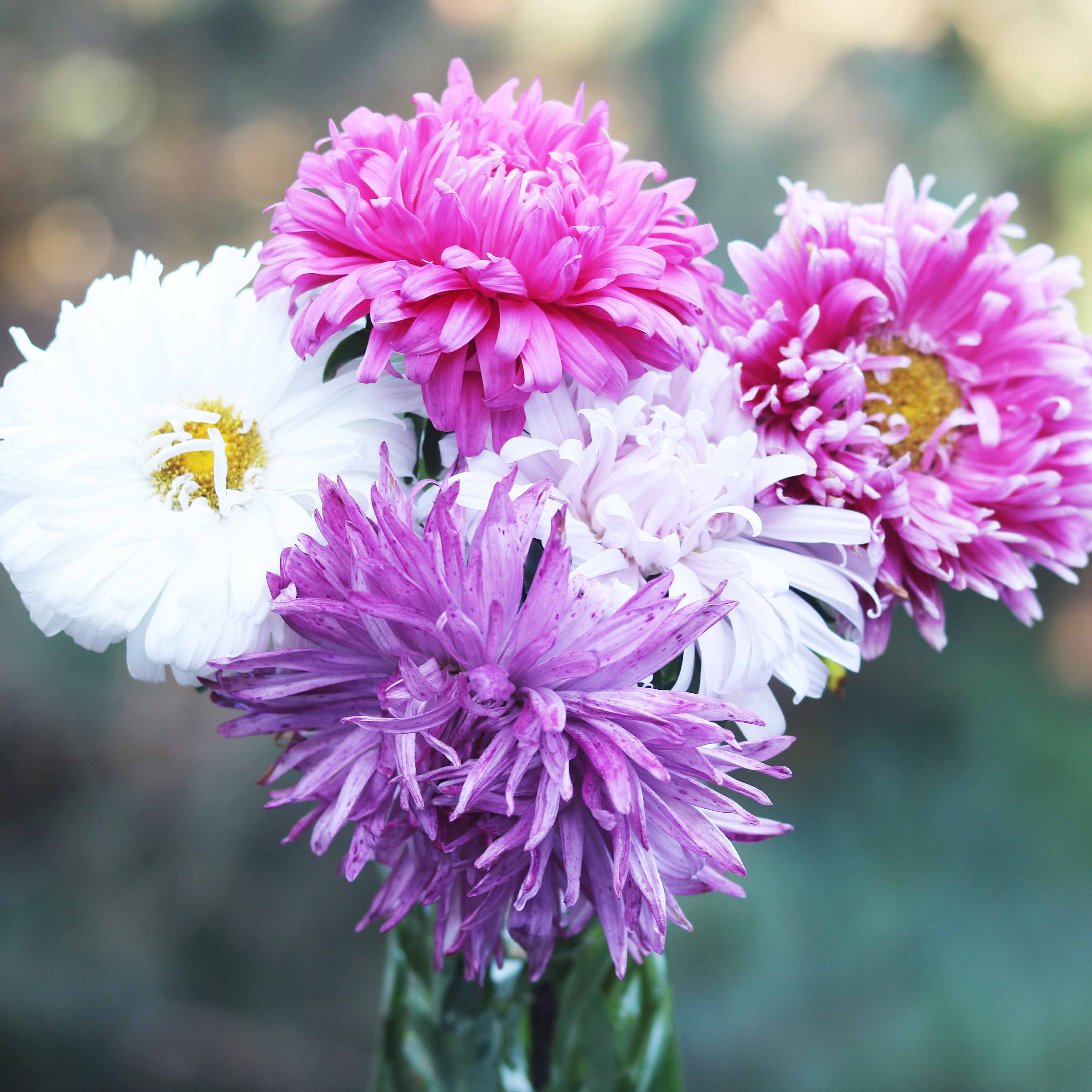 Flower, Crego Mix China Aster