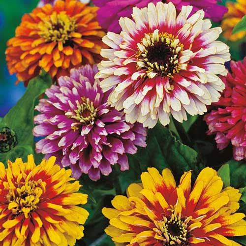 Flower, Whirlygig Mix Zinnia