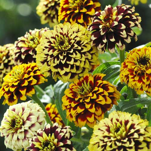 Flower Seeds to Buy and Grow - Heirloom, Organic, Non-GMO | Seed