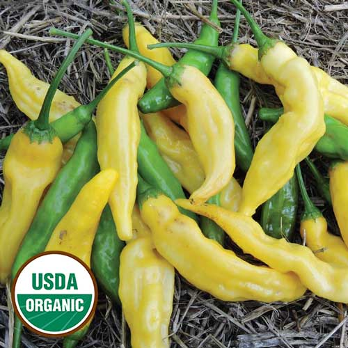 Yellow Peru Pepper