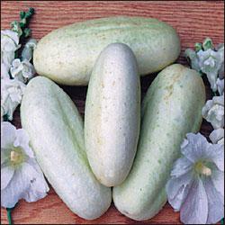 Cucumber, White Wonder