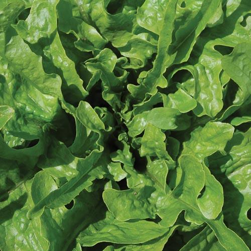 Lettuce, Green Oakleaf
