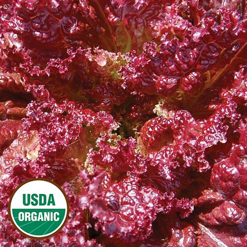 Lettuce, Lolla Rossa