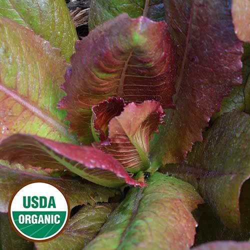 Lettuce, Rouge d'Hiver