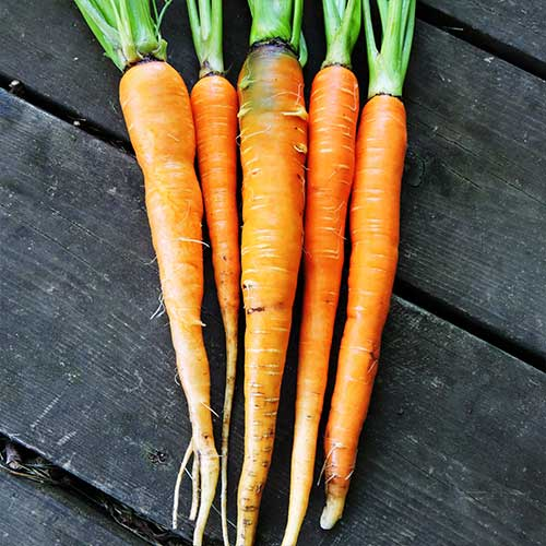 Waltham Hi-Color Carrot