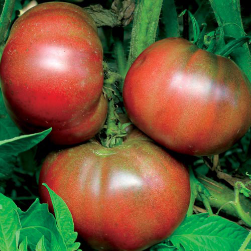 Tomato, Black from Tula