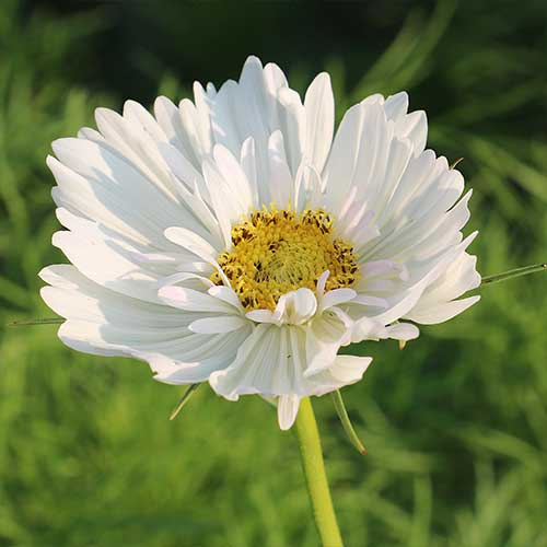 Fizzy White Cosmos Flower