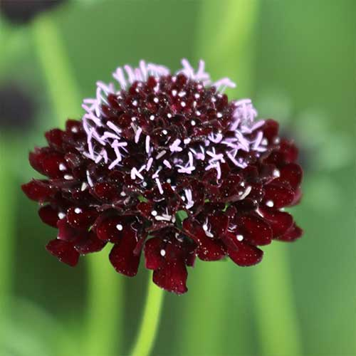 Black Night Pincushion Flower