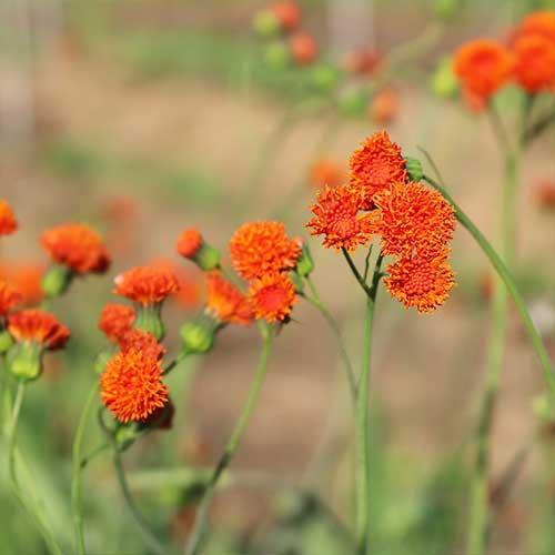 Scarlet Magic Tassel Flower