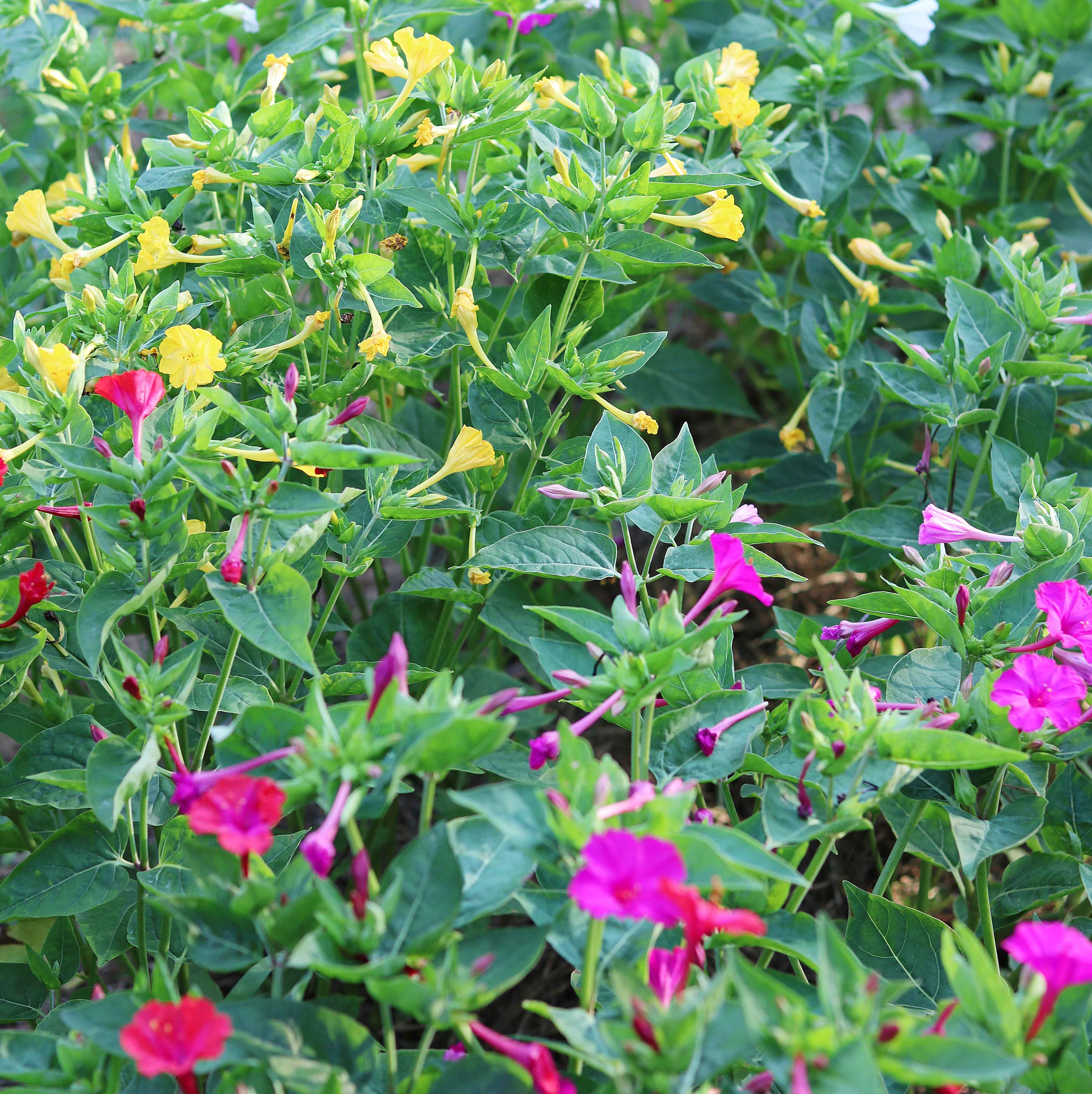 four o clocks flower seed savers exchange