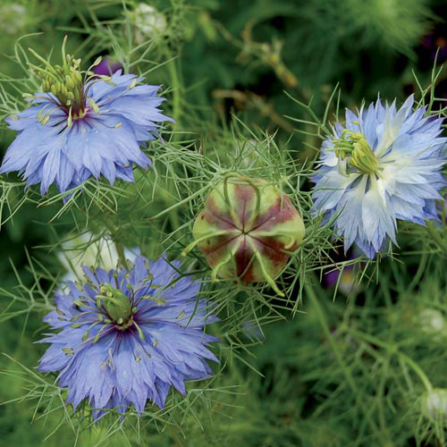 Flower, Love-in-a-Mist